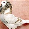 Пятнашки: Голубь (King bird slide puzzle)