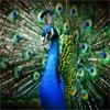 Пазл: Красивый павлин (Beautiful Peacock)