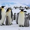 Пятнашки: Императорские пингвины (Emperor Penguins)