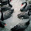 Пятнашки: Черные лебеди (Black swans family slide puzzle)