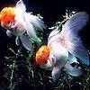 Пятнашки: Рыбки (Orange  fishes slide puzzle)