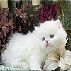 Пятнашки: Белый котенок (Sweet white cat slide puzzle)