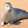 Пазл: Нерпа (Jigsaw: Seal)