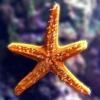 Пазл: Морская звезда (Jigsaw: Star Fish)