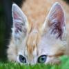 Пазл: Прячущийся кот (Jigsaw: Cat Hiding)