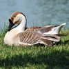 Пазл: Утка (Jigsaw: Duck Resting)