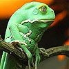 Пятнашки: Тропическая лягушка (Tropical frog slide puzzle)
