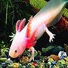 Пазл: Рыбка рамми (Pink rummy fish puzzle)