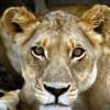 Пазл: Львица (Wild Lion Jigsaw)
