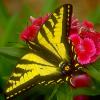Пазл: Бабочки (Butterfly Jigsaw)