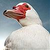 Пятнашки: Красный клюв (Red beak slide puzzle)