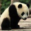 Пазл: Панды 2 (Panda Jigsaw)