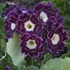 Пазл: Пурпурные цветы (Jigsaw: The purple beauty)