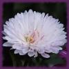 Пазл: Хризантемы (Jigsaw: Сhrysanthemum)