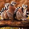 Пазл: Животные (Tired monkeys puzzle)