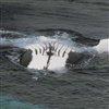 Пазл: Киты (Whales Jigsaw)