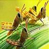 Пятнашки: Кузнечики (Leaf and grasshopper slide puzzle)