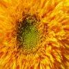 Пятнашки: Подсолнечник (Sunflower Slider)