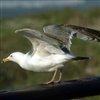Пазл: Морские птицы (Marine Birds Jigsaw)