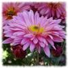 Пазл: Розовые цветы (Jigsaw: Pink flower)