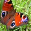 Пазл: Порхающая бабочка (Jigsaw: Flapping Butterfly)