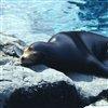 Пазл: Морской лев (Sea Lion Jigsaw)