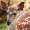 Пазл: Лань (Jigsaw: Fallow Deer)