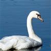 Пазл: Лебеди (Swan Jigsaw)