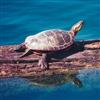 Пазл: Черепахи (Turtle Jigsaw)