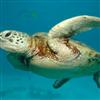 Пазл: Морские черепахи (Sea Turtle Jigsaw)