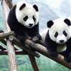 Пазл: Панды (Panda Jigsaw)