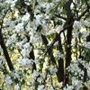 Пазл: Цветы яблочного дерева (Jigsaw: Apple Tree Flowers)
