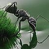 Пазл: Муравей (Black thirsty ant puzzle)