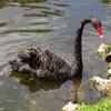 Пазл: Черный лебедь (Jigsaw: Black Swan)