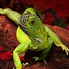 Пазл: Ящерка (Brave lizard puzzle)