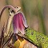 Пятнашки: Ящерка (Playful lizard slide puzzle)