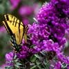 Пазл: Желтая бабочка (Jigsaw: Yellow Butterfly)