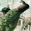 Пятнашки: Фантастические павлины (Fantastic peacocks slide puzzle)