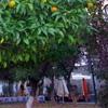 Пазл: Апельсиновое дерево (Orange Tree Jigsaw Puzzle)
