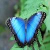 Пазл: Бабочка (Blue Butterfly)