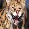 Пазл: Сердитый зверь (Angry Animals)