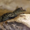 Пазл: Маленький крокодильчик (Cute Baby Crocodile)
