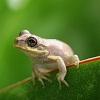 Пазл: Маленькая лягушка (Cute Little Frog)