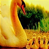 Пазл: Лебединая семья (Lovely swans family  puzzle)