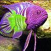 Пятнашки: Пурпурная рыба (Pink spotted fish slide puzzle)
