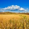 Пазл: Золотое поле (Jigsaw: Golden Wheat Field)