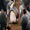 Пазл: Пингвины (Penguin Jigsaw)