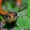 Пазл: Ящерка под дождем (Lizard in the rain forest puzzle)