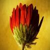 Пазл: Дикий цветок (Jigsaw: Deep Red Flower)