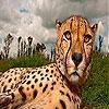 Пятнашки: Гепард (Big head cheetah slide puzzle)